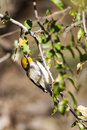 Verdin, Auriparus flaviceps Royalty Free Stock Image