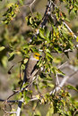 Verdin, Auriparus flaviceps Stock Images
