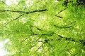 Verdure leaves on  Chinese banyan tree Stock Photo