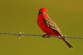 Vermilion Flycatcher, Pyrocephalus rubinus, beautiful red bird. Flycatcher sitting on the barbed wire with clear green background. Royalty Free Stock Photo