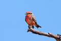 Vermilion flycatcher sitting on a dead branch with blue sky background Stock Photo