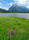 Vermilion Lakes with fireweed Royalty Free Stock Photo