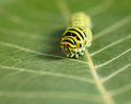 Vermin caterpillar macro front view of pest colorful on green leaf Stock Images