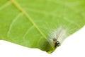 Vermin shaggy caterpillar en face on leaf edge macro of hyphantria cunea larva green isolated white Royalty Free Stock Photography