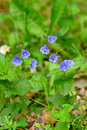 Veronica chamaedrys or germander speedwell Royalty Free Stock Photo