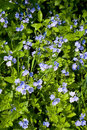 Veronica chamaedrys nature background of close up germander speedwell meadow Royalty Free Stock Images