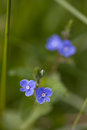 Veronica close up of delicate veronicas chamaedrys germander speedwell Stock Photography