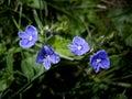 Veronica flowers Stock Photography