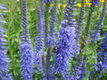 Veronica Longifolia Stock Images