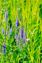 Veronica longifolia long spike inflorescence blue wildflowers on a background of green grass Stock Photography