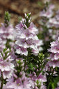 Veronica prostrata 'Mrs. Holt' Stock Images