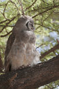 Verreaux's  eagle owl Stock Photography