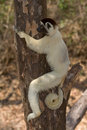 Verreaux's Sifaka Stock Photography