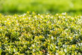 Vers laurel bush leaves Stock Afbeeldingen