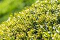 Vers laurel bush leaves Royalty-vrije Stock Foto's