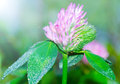Verse сlover bloemenbloesem met dalingen van dauw Royalty-vrije Stock Foto