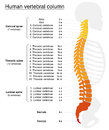 Vertebral Column Names Spine Royalty Free Stock Photo