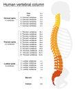 Vertebral Column Names Spine Royalty Free Stock Photo