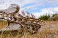 Vertebrate bones skeleton of a animal lying on the ground with rotten meat Stock Photo