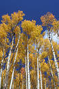 Vertical Aspens Royalty Free Stock Photos