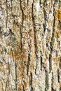 vertical background - bark of old oak tree Royalty Free Stock Photo