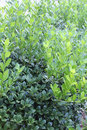 Vertical background of bushes showing old and new, untrimmed growth Royalty Free Stock Photo