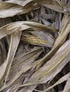 Dry corn stalks with a cob Royalty Free Stock Photo