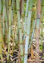 Bamboo canes growing vertically in a green toned garden Royalty Free Stock Photo