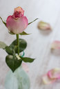 Vertical composition pink rose over blur background Royalty Free Stock Photo