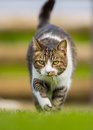 Vertical front cat on the prowl Royalty Free Stock Photo