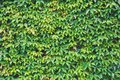 Vertical garden, green leaves wall texture, natural green leaf climbing plant covered concrete wall background Royalty Free Stock Photo