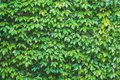 Vertical garden, green leaves wall texture, natural green leaf covered concrete wall background, climbing plant on the stone wall Royalty Free Stock Photo
