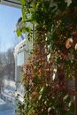 Vertical greening with thunbergia and cobaea on wooden trellis. Balcony garden in march. Summer indoor and winter outdoor