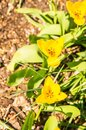 Vertical high angle closeup shot of beautiful yellow snowdrops growing on the soil Royalty Free Stock Photo