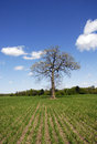 Lone Oak in Corn Field Royalty Free Stock Photo