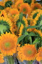 Vertical image of stunning sunflowers ready for sale at local farmers market Royalty Free Stock Photo