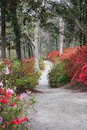Vertical landscape of pedestrian walkway through a garden of red and pink blooming azaleas Stock Photo