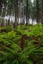 Ferns and pine trees in a tall old and wild European forest Royalty Free Stock Photo