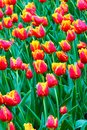 Vertical photo of flower bed with beautiful red yellow tulips. Rain drops on the natural petals. Marvelous flowers. Holland tulip Royalty Free Stock Photo