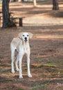 Stray Dog Royalty Free Stock Photo