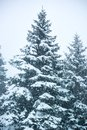 Vertical picture of the snowfall and fir-trees