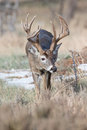 Vertical photograph a big whitetail buck Royalty Free Stock Photo