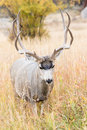 Vertical photograph of mule deer buck Royalty Free Stock Photo