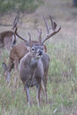 Vertical photograph of whitetail buck lip curling making action during rut Royalty Free Stock Photo