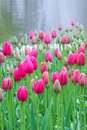 Vertical picture of fuchsia tulips taken on a misty morning in fog and rain. Raindrops on tulip flowers and in background. White Royalty Free Stock Photo
