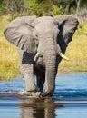 Vertical portrait of an adult elephant walking through river in Khwai Okavango Delta Botswana Royalty Free Stock Photo