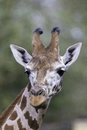 Vertical portrait face and neck of a rothschild s giraffe this is close up giraffes which are the world rarest subspecies they are Royalty Free Stock Photography