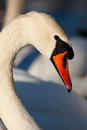 Vertical portrait of a mute swan Royalty Free Stock Photos