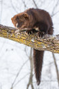 Vertical portrait of North American Fisher Royalty Free Stock Photo