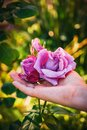 Vertical shot of a female hand touching beautiful garden roses